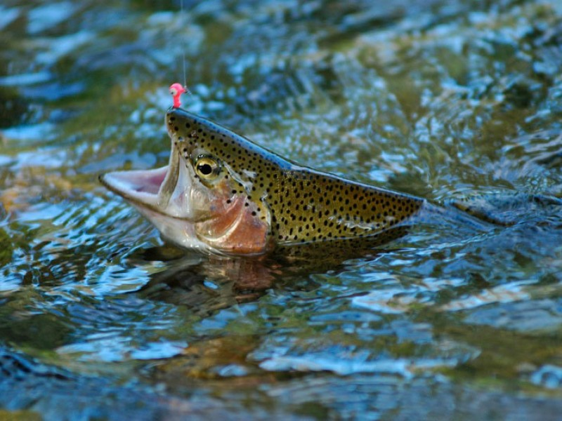 What does a trout look like  Answerscom