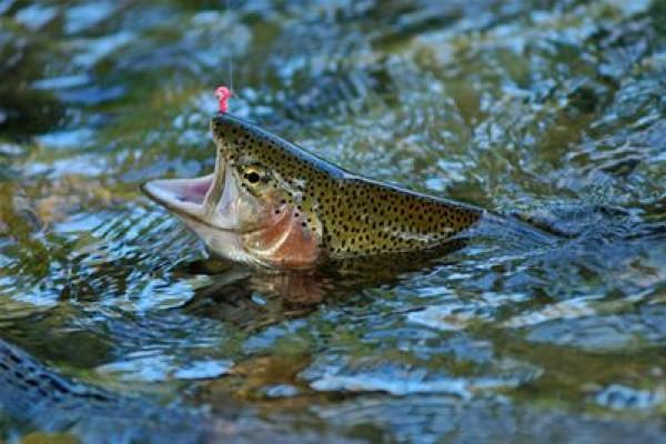 > Pêche à la truite et au carnassier